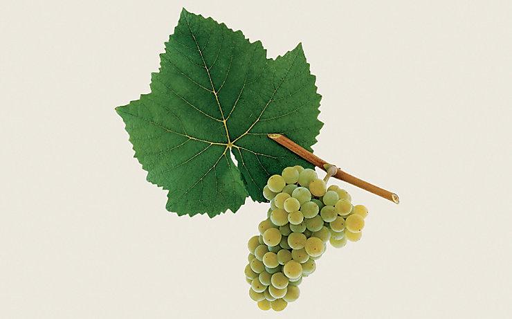 Weißburgunder/Pinot Blanc