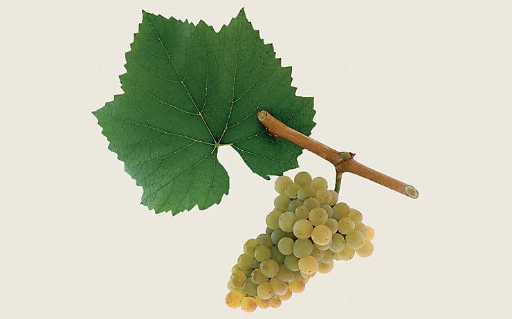 Chardonnay / Moillon