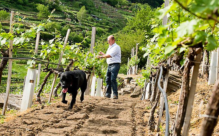 Winzer Rudi Pichler in seinem Weingarten.
