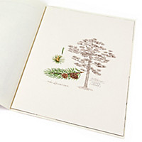 Lebensbaum Kiefer