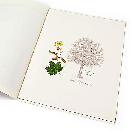 Lebensbaum Ahorn
