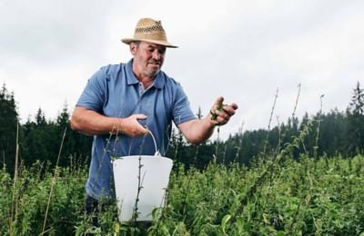 Bio-Brennnessel Samen