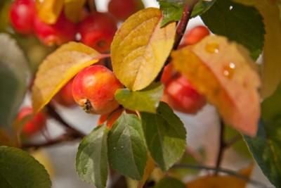 Apfel-Kren Senf im Tontopf